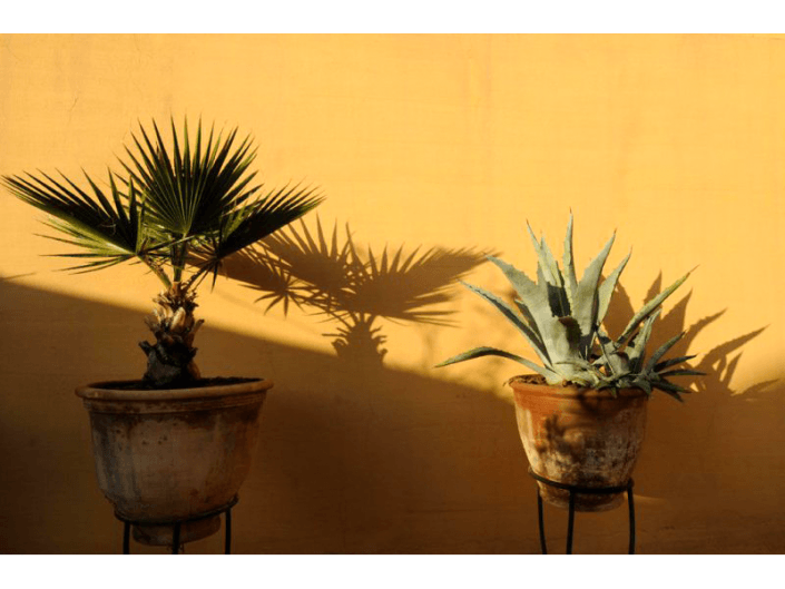 Deux plantes de cactus exposées contre un mur ocre d'un riad à Marrakech