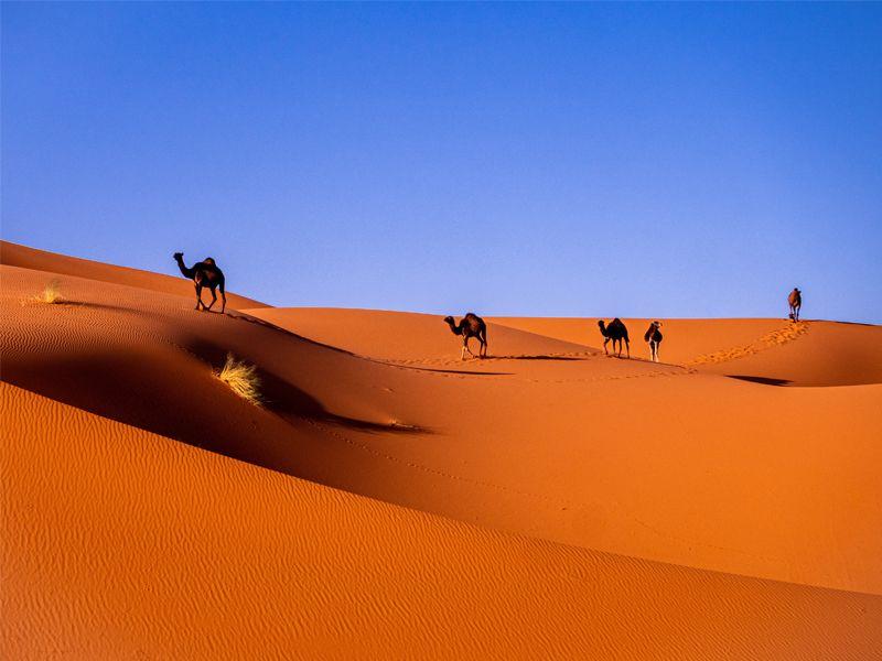 Désert aux dunes oranges avec des chameaux et dromadaires au Maroc
