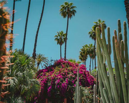 Palmiers et cactus dans le Jardin Majorelle de Marrakech au Maroc